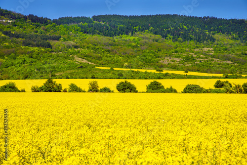Fotobehang Oranje Rapeseed fields - yellow fileds and blue sky. Agriculture concept.
