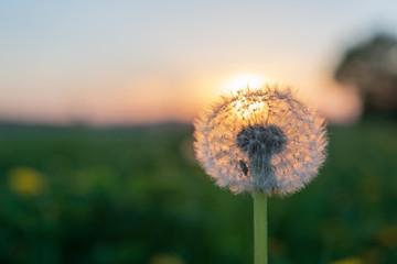 Sonnenuntergang mit Löwenzahn Blume im Vordergrund
