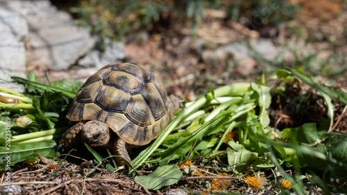 Foto Spatwand Schildpad Griechische Landschildkröte
