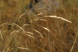 Leinwanddruck Bild - Festuca Pratensis, Allergens Plants