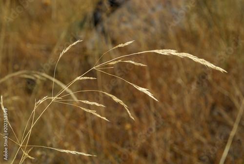 Leinwanddruck Bild Festuca Pratensis, Allergens Plants