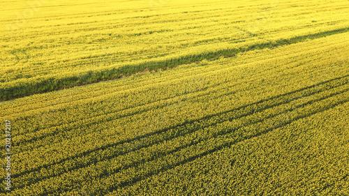 Plexiglas Geel Flowering field of oilseed rape. Flowering field of oilseed rape.