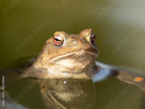 Plexiglas Kikker kröte im Wasser im Garten