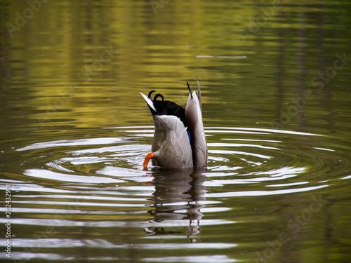 Wild duck floats on a bet.