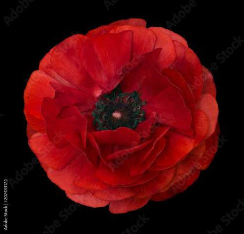 Fotobehang Rood paars Ranunculus red. Bright flower buttercup on isolated black background with clipping path without shadows. Close-up. For design. Nature.