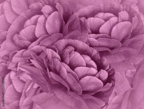 Floral light pink halftone  background. A bouquet of   pink  flowers.  Close-up.   floral collage.  Flower composition. Nature.