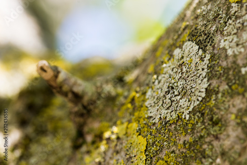 Abstract scratched lichen-covered tree bark patter for background. Close-up photo