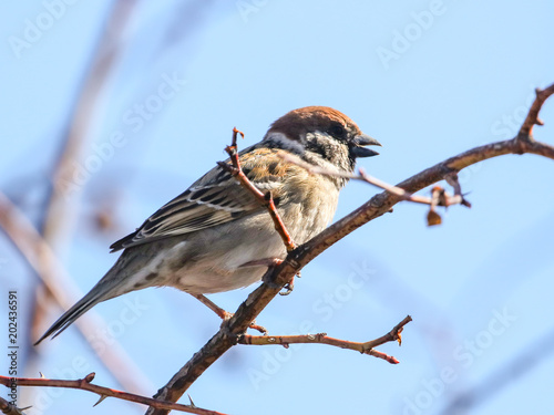 Sparrow on a tree against a blue sky