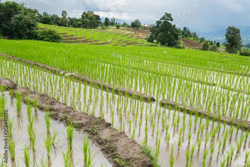 Plexiglas Rijstvelden transplant rice terrace seedlings field in Ban Pa Bong Piang, Chiagmai, the north of thailand