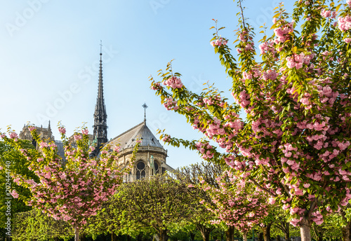 The chancel and spire of Notre-Dame de Paris cathedral at the end of a sunny spring day seen from the John XXIII park with blooming japanese cherry trees laden with pink flowers in the foreground.