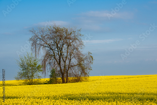 Tree growing at the yellow rape field. Spring landscape.