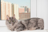 Seriously gray cat on a window sill
