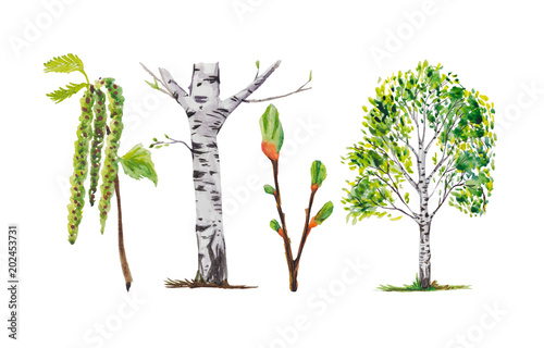 Birch trees, birch buds, and branches. All illustrations are isolated, on a white background, painted in watercolor. - 202453731