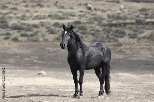 Plexiglas Paarden Onaqui Herd wild mustangs in the Great Desert Basin, Utah USA