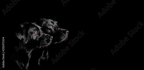 canvas print picture Zwei schwarze Labrador Retriever mit wunderschönen Augen im Seitenprofil vor schwarzen Hintergrund