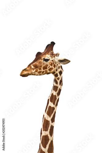 Standing Giraffe long neck and head. Giraffe