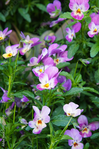Foto Murales Pansy or viola wittrockiana violet, yellow and white flowers