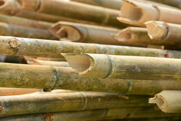 Bamboo trees before processing. Used in the construction industry and cement in the construction.