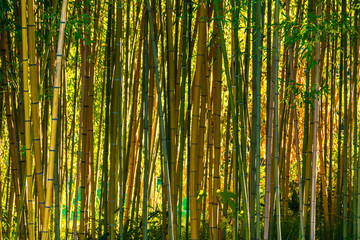 Background image of bamboo grove in sunny day closeup