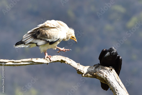 Egyptian Vulture Arguing with a Raven on a Branch