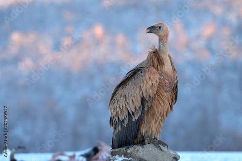 Griffon Vulture Resting on a Rock, in Mountains, in Winter
