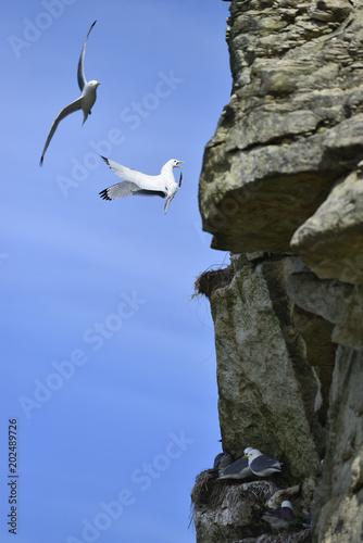 Landing seagull