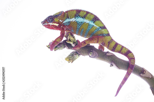 Kolorowy kameleon na wierzchołku gałąź wathing ciebie na białym tle. Zamknij się ilustracja fotografii.