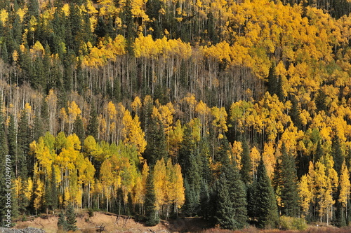 Plexiglas Honing Aspen forests painted with bright yellow colors of autumn