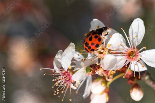 A ladybug on white apple tree blossoms