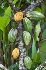 Cocoa tree (Theobroma cacao) with fruits / Cocoa tree (Theobroma cacao) with green and yellow fruits.