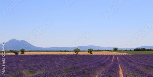 Plexiglas Lavendel Paysage typique du plateau du Lubéron