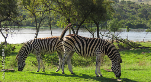 2 Zebra's grazing on grass with a lake behind them