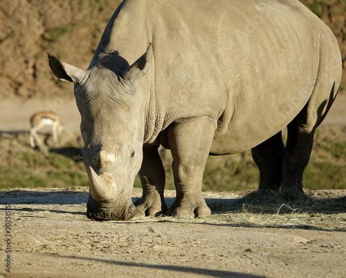 Fotobehang Neushoorn Rhino Grazing