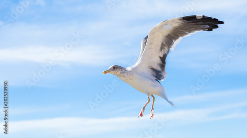 Seagulls flying over the fishing port of Essaouira, Morocco