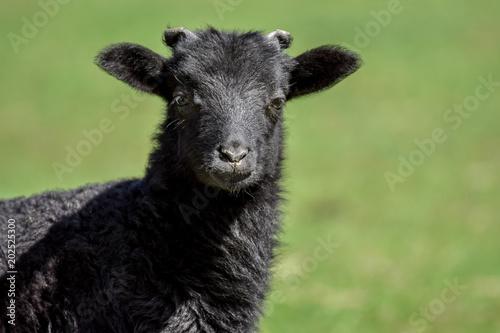 Little lambs in field of grass