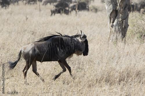 Fotobehang Zanzibar White bearded Wildebeest running through the savannah on a hot day during the dry season