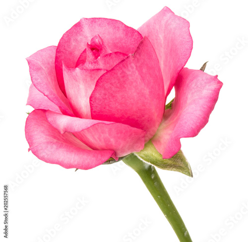 one pink rose flower isolated on white background cutout - 202557568