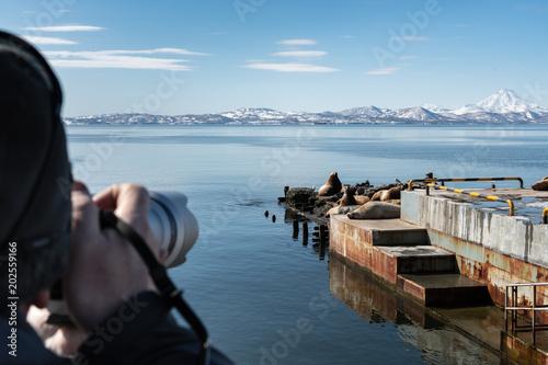 Photographer shoots on camera wild animals Steller Sea Lion or Northern Sea Lion (Eumetopias Jubatus) wintering on pier on Pacific Coast (Avacha Bay, Kamchatka Peninsula, Russian Far East) Poster
