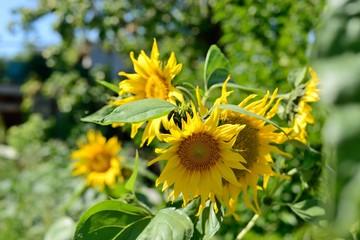 Bush sunflowers on a sunny day