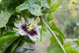 detail of the passion fruit flower in the organic garden