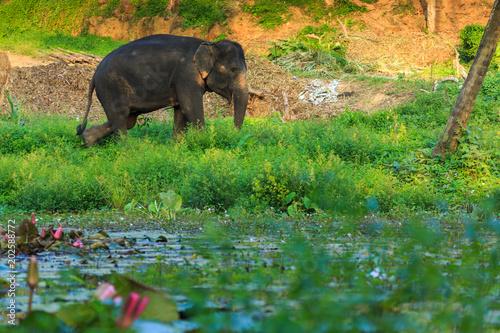 Fotobehang Neushoorn Indian or asian elephant in thailand
