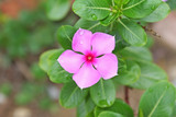 Pink flower blooming with water drops,Catharanthus roseus