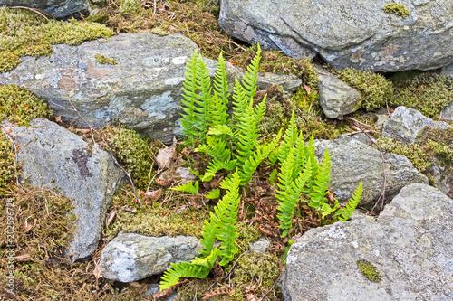 Green ferns growing amongst rocks