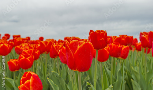Plexiglas Rood traf. Field with tulips below a cloudy sky in spring