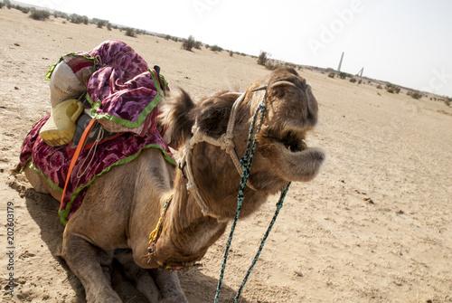Aluminium Kameel dromedario desierto Thar Rajastan India