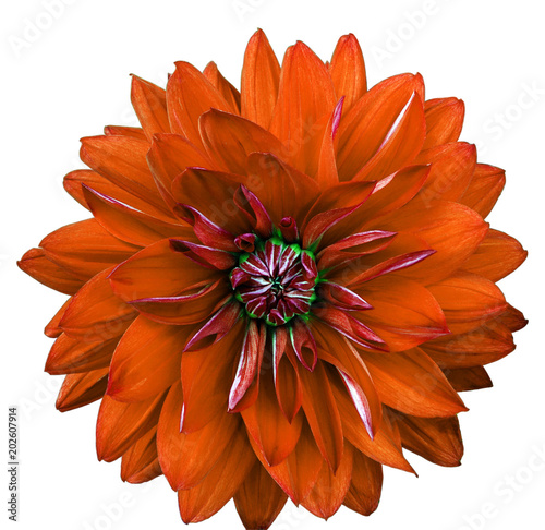Fotobehang Rood traf. Dahlia flower, white background isolated. Macro. Closeup. Orange, green.