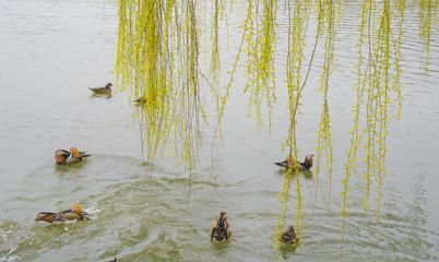 새싹이 돋아나는 수양버두나무와 원앙새