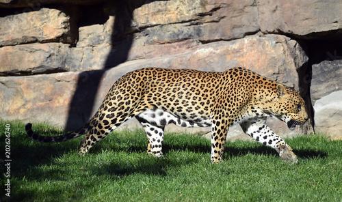Obraz na płótnie Leopardo