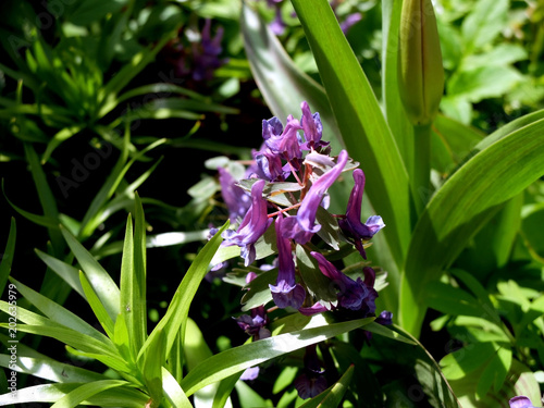 Foto Murales Violet flower close up, side view