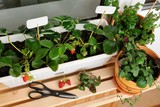 Urban gardening on the balcony in the apartment - 202648156